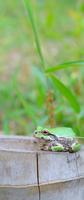 竹株とカエル 11023012756| 写真素材・ストックフォト・画像・イラスト素材|アマナイメージズ