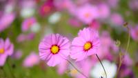 秋桜 11023014768| 写真素材・ストックフォト・画像・イラスト素材|アマナイメージズ