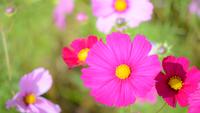 秋桜 11023014771| 写真素材・ストックフォト・画像・イラスト素材|アマナイメージズ