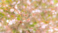 桜 11023014788| 写真素材・ストックフォト・画像・イラスト素材|アマナイメージズ