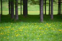 樹木とタンポポ 11023018021| 写真素材・ストックフォト・画像・イラスト素材|アマナイメージズ