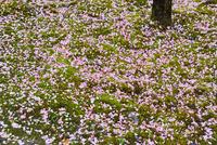 苔庭に散る梅の花びら
