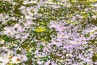 桜散る苔の庭