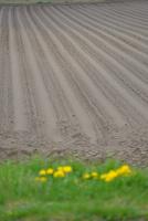 畑とタンポポ