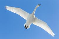 白鳥 11023019740| 写真素材・ストックフォト・画像・イラスト素材|アマナイメージズ