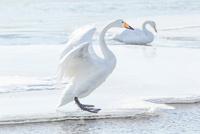 白鳥 11023019741| 写真素材・ストックフォト・画像・イラスト素材|アマナイメージズ