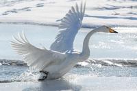 白鳥 11023019742| 写真素材・ストックフォト・画像・イラスト素材|アマナイメージズ
