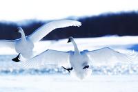 白鳥 11023019743| 写真素材・ストックフォト・画像・イラスト素材|アマナイメージズ