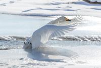 白鳥 11023019744| 写真素材・ストックフォト・画像・イラスト素材|アマナイメージズ