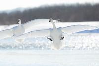 白鳥 11023019811| 写真素材・ストックフォト・画像・イラスト素材|アマナイメージズ