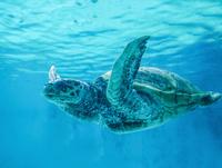海亀 11023020118| 写真素材・ストックフォト・画像・イラスト素材|アマナイメージズ
