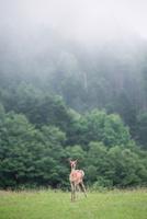 エゾシカ 11023020133| 写真素材・ストックフォト・画像・イラスト素材|アマナイメージズ