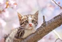 子猫と桜 11023020139| 写真素材・ストックフォト・画像・イラスト素材|アマナイメージズ