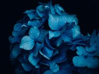 紫陽花 11023020257| 写真素材・ストックフォト・画像・イラスト素材|アマナイメージズ