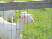山羊のいる風景