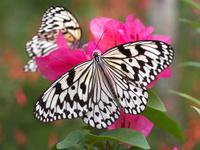 オオゴマダラ 11023020370| 写真素材・ストックフォト・画像・イラスト素材|アマナイメージズ