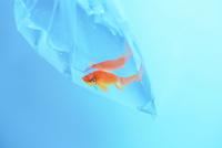 金魚 11023020742| 写真素材・ストックフォト・画像・イラスト素材|アマナイメージズ