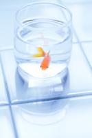金魚 11023020744| 写真素材・ストックフォト・画像・イラスト素材|アマナイメージズ
