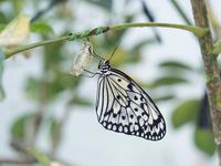 オオゴマダラ 11023021058| 写真素材・ストックフォト・画像・イラスト素材|アマナイメージズ