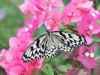 オオゴマダラ 11023021059| 写真素材・ストックフォト・画像・イラスト素材|アマナイメージズ