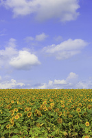 ひまわり畑 11023021768| 写真素材・ストックフォト・画像・イラスト素材|アマナイメージズ