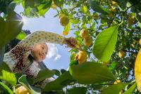レモン狩り 11023021793| 写真素材・ストックフォト・画像・イラスト素材|アマナイメージズ