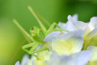 紫陽花の花にいるヤブキリ 11023021945| 写真素材・ストックフォト・画像・イラスト素材|アマナイメージズ