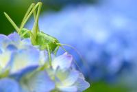 紫陽花の花にいるヤブキリ 11023021946| 写真素材・ストックフォト・画像・イラスト素材|アマナイメージズ