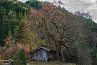 根羽の柿の木 11023021956| 写真素材・ストックフォト・画像・イラスト素材|アマナイメージズ