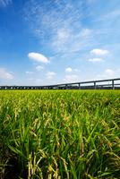 実る稲穂と圏央道 11023022123| 写真素材・ストックフォト・画像・イラスト素材|アマナイメージズ