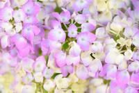 アジサイの花 11023022132| 写真素材・ストックフォト・画像・イラスト素材|アマナイメージズ