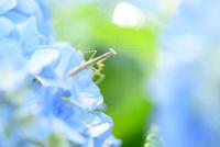 紫陽花の花にいるカマキリ 11023022134| 写真素材・ストックフォト・画像・イラスト素材|アマナイメージズ