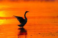 白鳥と朝焼けの川 11023022227| 写真素材・ストックフォト・画像・イラスト素材|アマナイメージズ