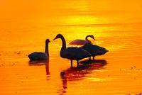 白鳥と朝焼けの川 11023022228| 写真素材・ストックフォト・画像・イラスト素材|アマナイメージズ