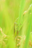 稲にとまるイナゴ 11023022234| 写真素材・ストックフォト・画像・イラスト素材|アマナイメージズ