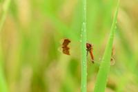 稲にとまるアカトンボ 11023022235| 写真素材・ストックフォト・画像・イラスト素材|アマナイメージズ