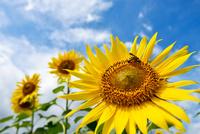 ヒマワリと蜜を吸うハチ 11023022237| 写真素材・ストックフォト・画像・イラスト素材|アマナイメージズ