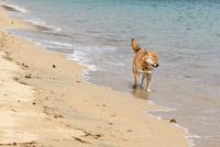 柴犬(虎毛) 11023022268| 写真素材・ストックフォト・画像・イラスト素材|アマナイメージズ