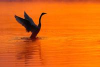 白鳥と朝焼けの川 11023022286| 写真素材・ストックフォト・画像・イラスト素材|アマナイメージズ