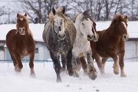 雪原を走る馬 11023022306| 写真素材・ストックフォト・画像・イラスト素材|アマナイメージズ