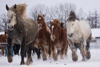 雪原を走る馬 11023022307| 写真素材・ストックフォト・画像・イラスト素材|アマナイメージズ