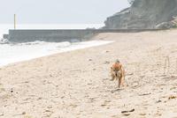 柴犬(虎毛) 11023022350| 写真素材・ストックフォト・画像・イラスト素材|アマナイメージズ