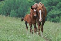 馬の親子 11023022402  写真素材・ストックフォト・画像・イラスト素材 アマナイメージズ