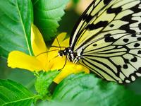 オオゴマダラ 11023022499| 写真素材・ストックフォト・画像・イラスト素材|アマナイメージズ
