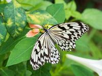 オオゴマダラ 11023022504| 写真素材・ストックフォト・画像・イラスト素材|アマナイメージズ