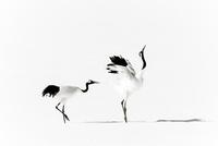 二羽の鶴 11023022589| 写真素材・ストックフォト・画像・イラスト素材|アマナイメージズ