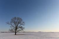 冬のハルニレの木 11023022651| 写真素材・ストックフォト・画像・イラスト素材|アマナイメージズ