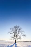 冬のハルニレの木 11023022652| 写真素材・ストックフォト・画像・イラスト素材|アマナイメージズ