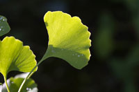 Ginkgo leaf with dew drops