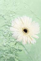 Gerbera daisy floating on water 11025006049| 写真素材・ストックフォト・画像・イラスト素材|アマナイメージズ